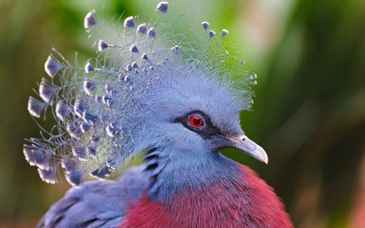 golub