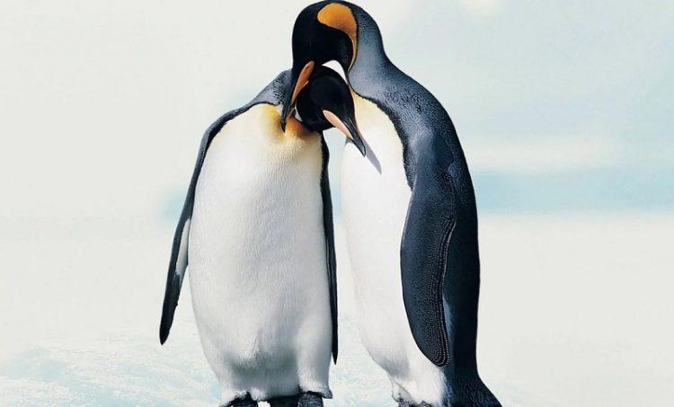 pingvinu