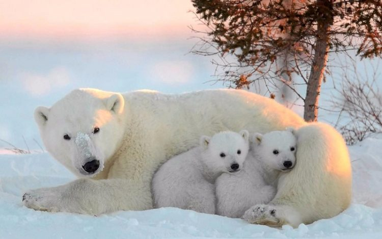 poljarnue-medvedi