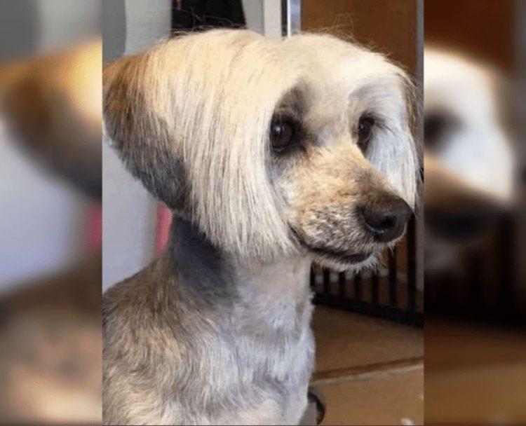 Собаки с человеческими стрижками